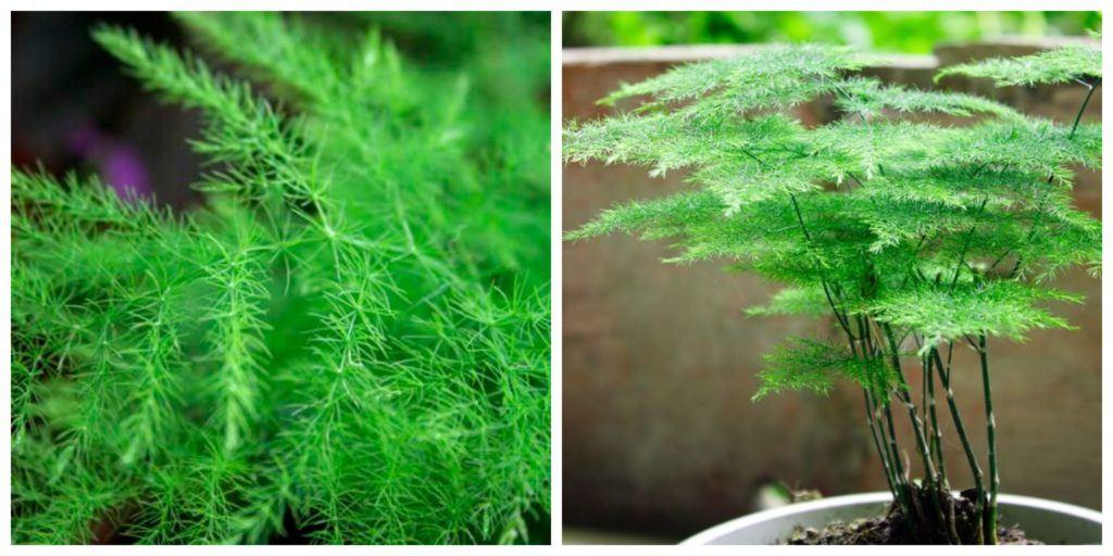 Asparagus növény és levél