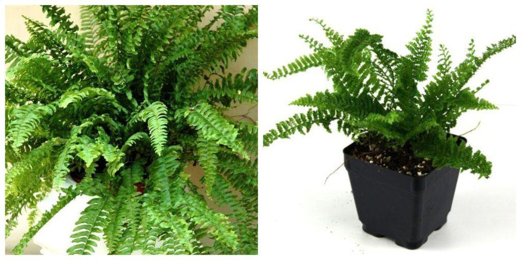 Nephrolepus növény és levél