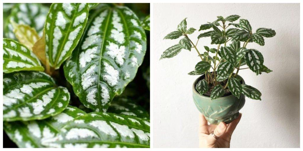 Pilea cadierei növény és levél